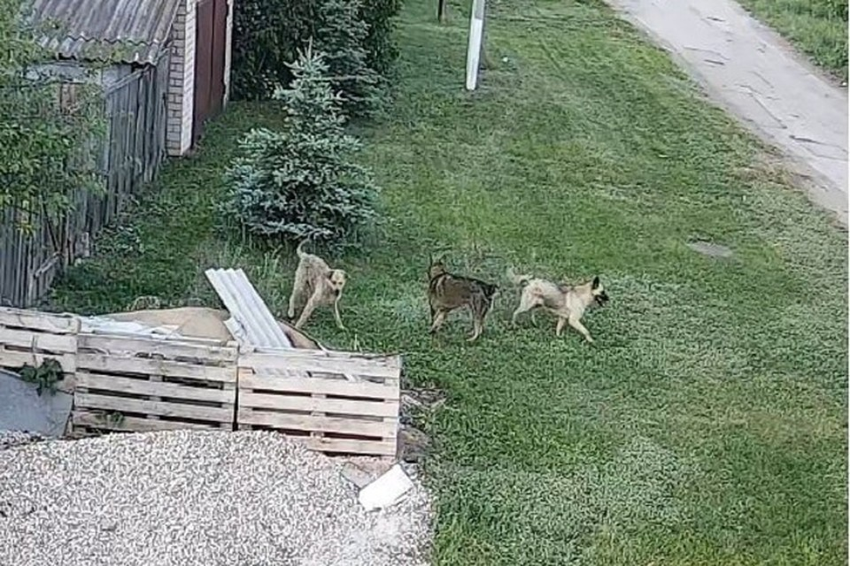 Стая бездомных собак разоряет курятники в Подстепках