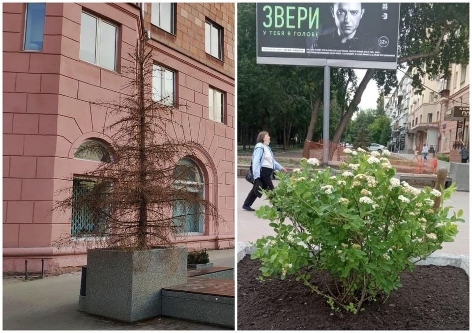 В мэрии заверили, что растения не прижились и на их замену не придется тратить бюджетные деньги. Фото: читатель КП, Мэрские новости/t.me