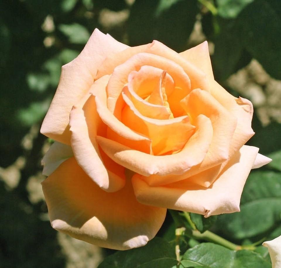 Роза - символ любви и нежности. Фото: Игорь Самусенко/Никитский ботанический сад (НБС-ННЦ РАН)/VK