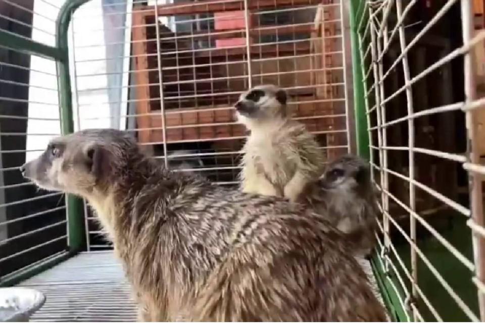 А вы слыхали, как поют носухи, барсуки и сурикаты? Фото: скриншот видео Сибирского зоопарка в Иркутске.