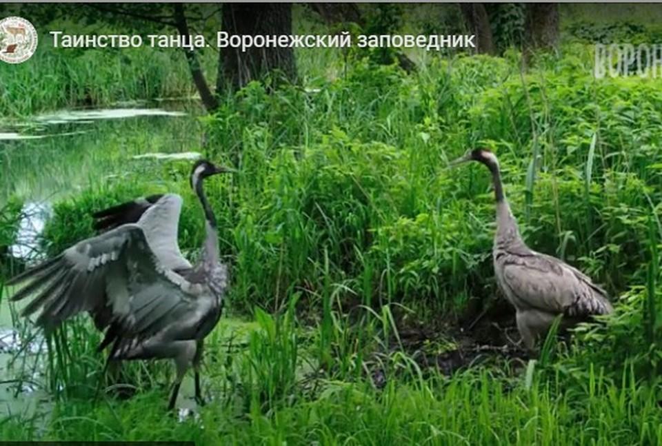 Кадр из видео с сайта Воронежского заповедника