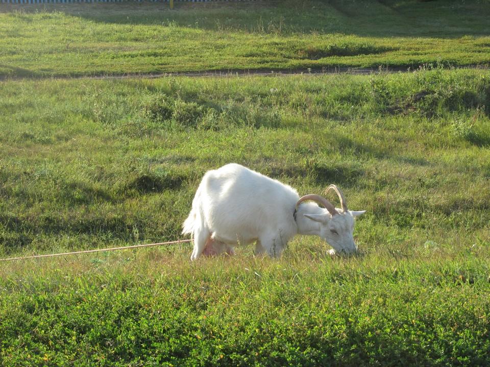 Коза ушла за 400 метров от дома