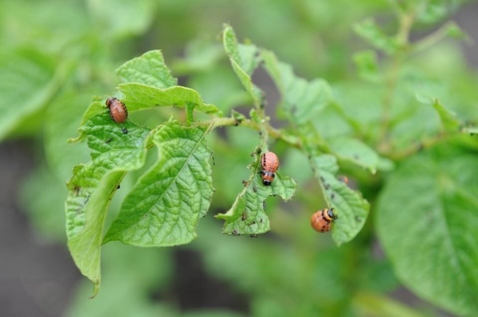 Сибирские ученые разрабатывают препарат для защиты растений от насекомых на основе грибков-паразитов.