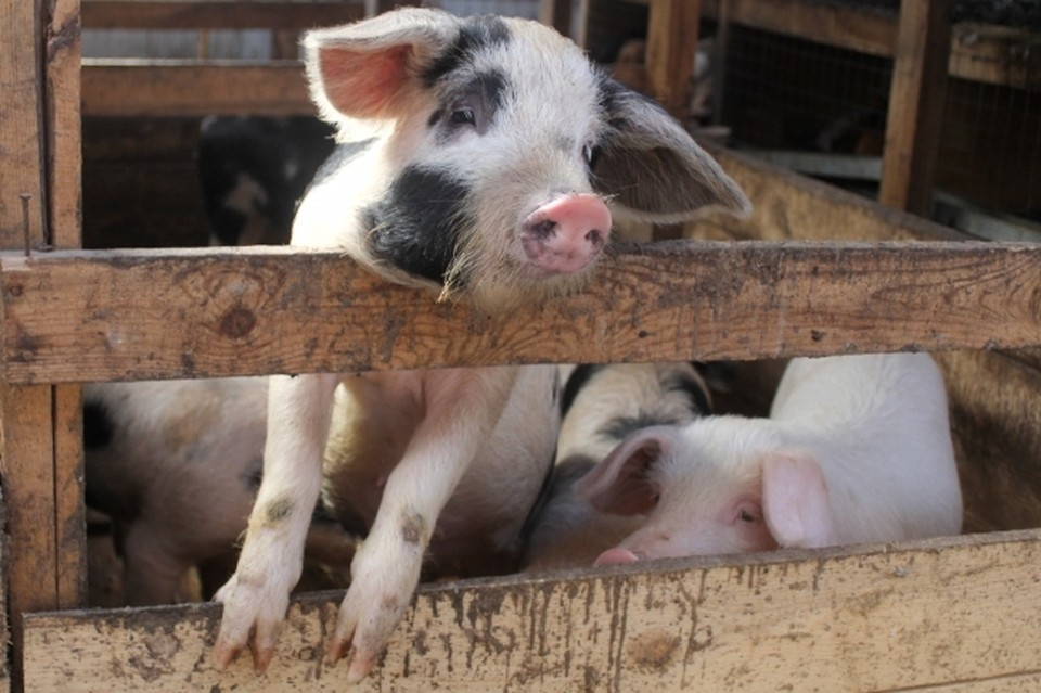 Очаг заражения свиней африканской чумой выявили под Смоленском.