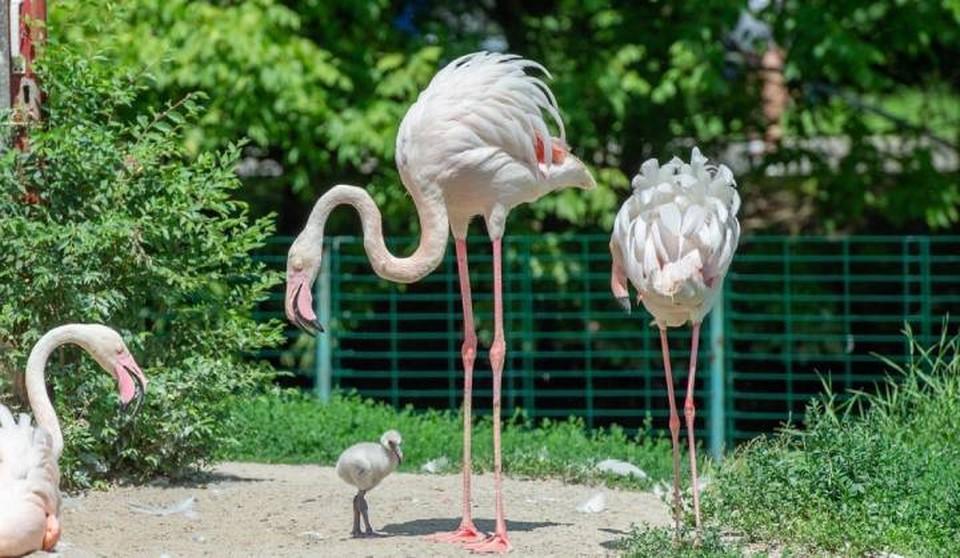 Впервые за 10 лет в зоопарке на свет появились птенцы фламинго. Фото: пресс-служба ростовского зоопарка
