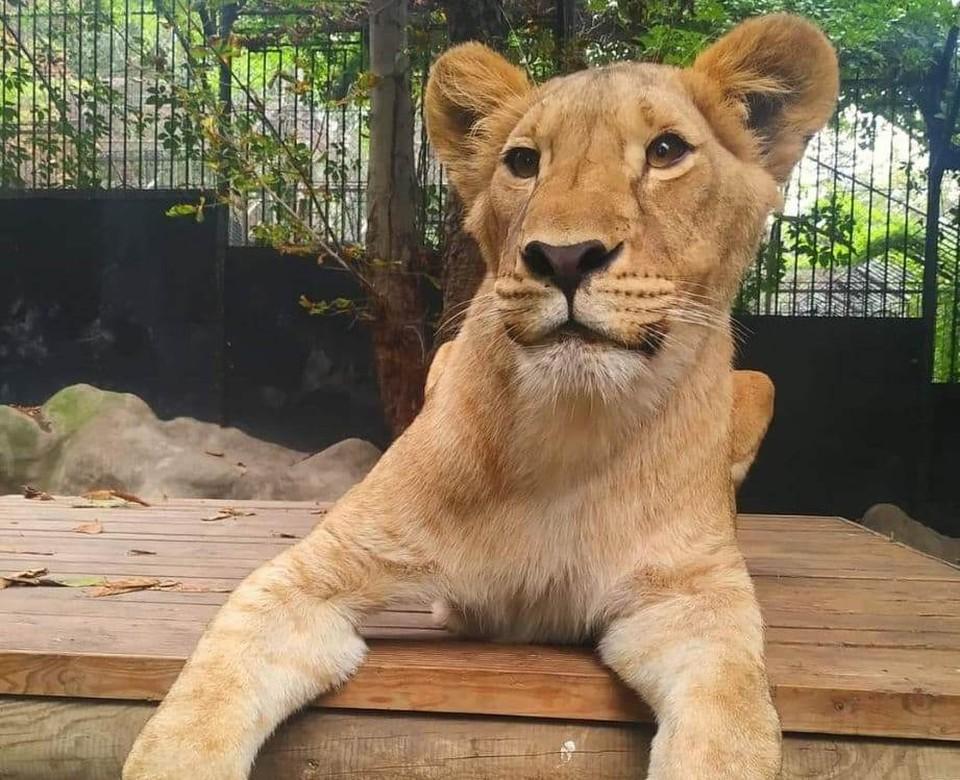 Ведущая охотница из львиной четвёрки кишиневского зоопарка. Фото: zoo.md