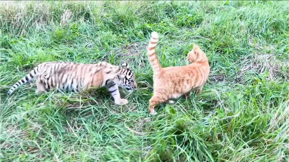 Тигрица Тори ищет подход к потенциальному другу