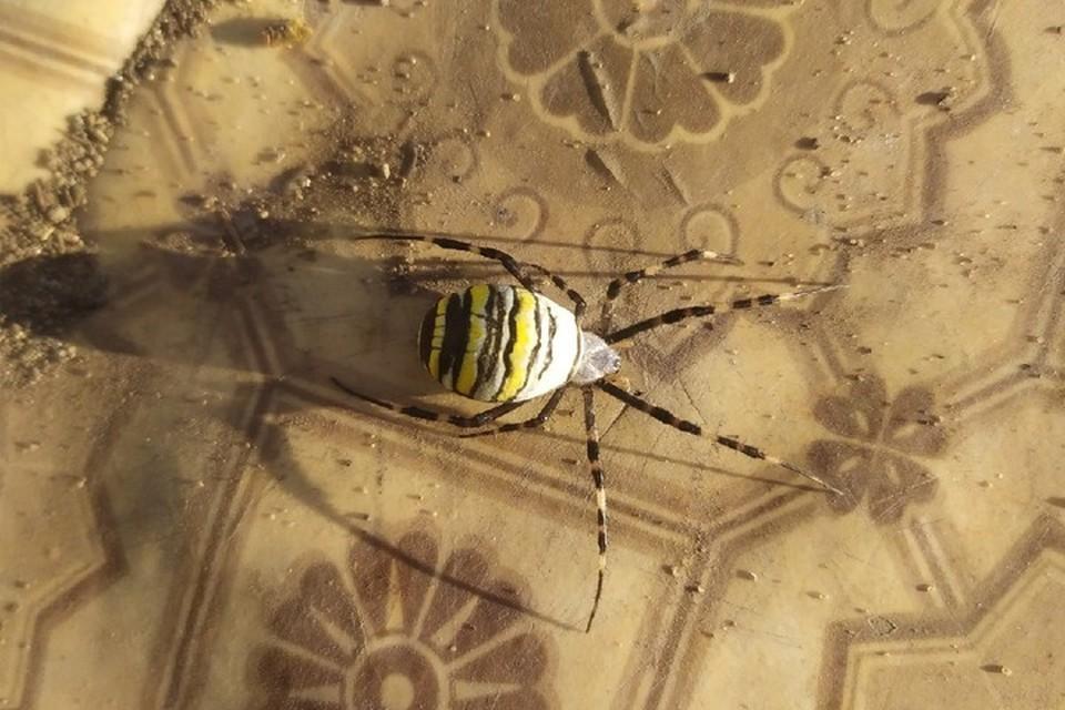 Таких пауков можно часто встретить в Самарской области. Фото: Анатолий Лаврушкин