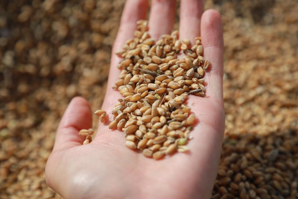 В комплексе будет производиться очистка и сушка пшеницы, ячменя и овса