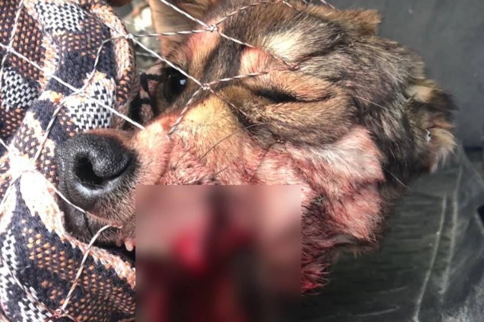 «Нет половины челюсти»: пьяный сибиряк пытался зверски расправиться с бродячей собакой на глаз у детей. Фото: Анастасия Комина