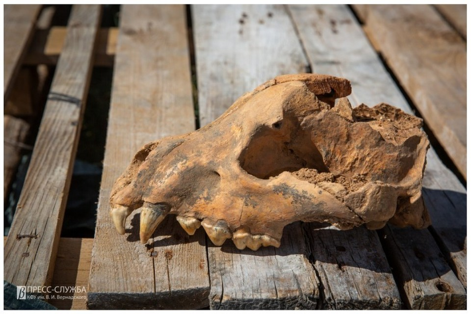 Череп ископаемой гигантской гиены пахикрокуты хорошо сохранился. Фото: пресс-служба КФУ