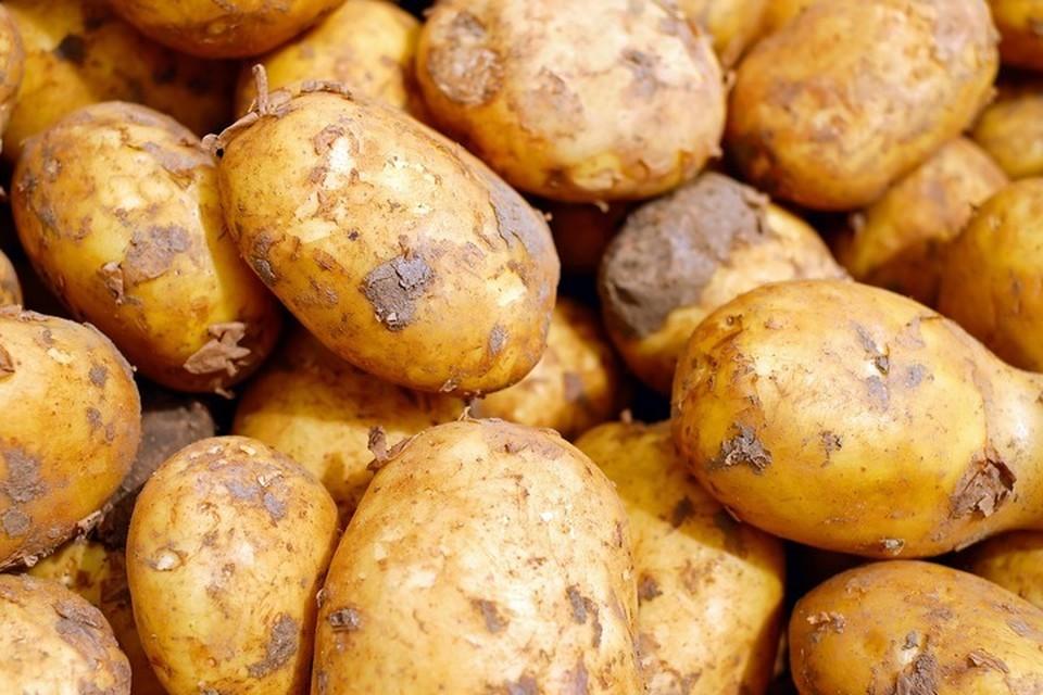 Под Слуцком женщина выкопала картошку, похожую на кабана. Фото: pixabay.com