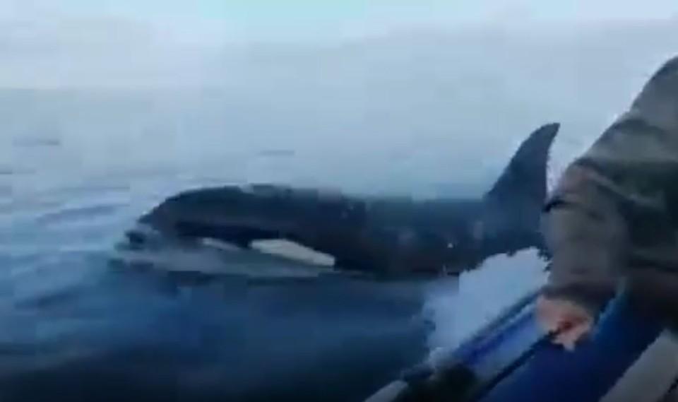 «Офигела совсем!»: касатка напала на рыбаков в Хабаровском крае. Фото: стоп-кадр видео