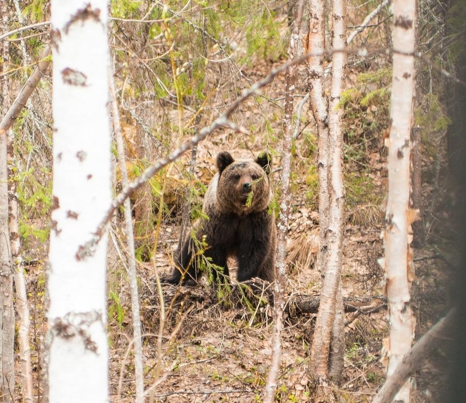 Водителя, который насмерть сбил медведя, разыскивают в Бурятии. Фото: Павел Канев