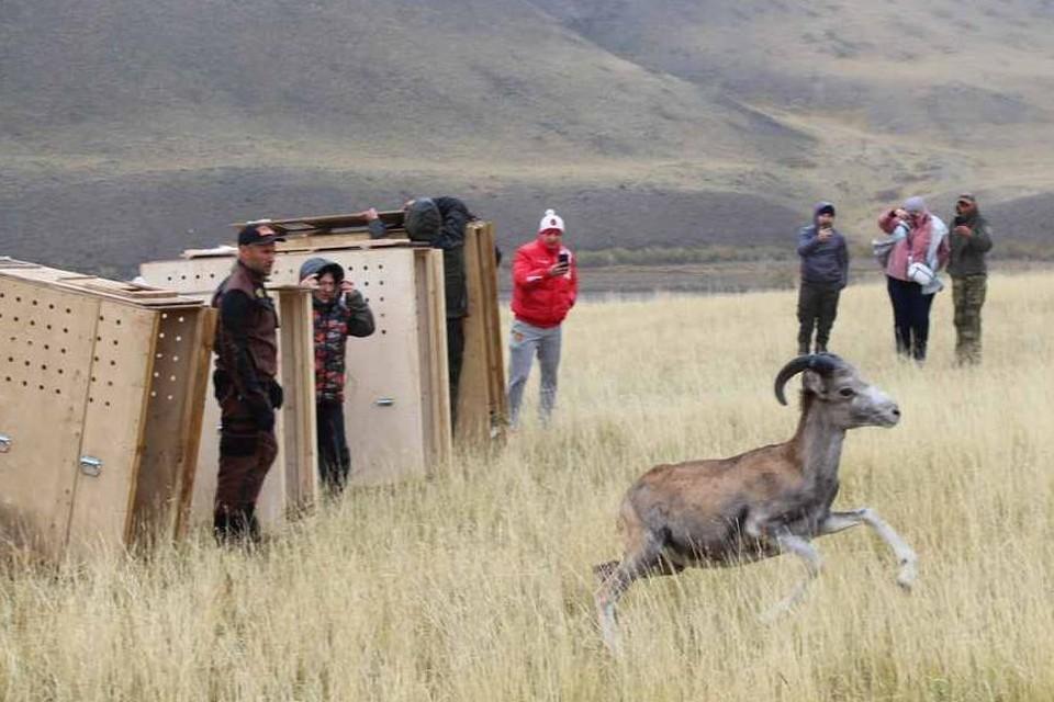 """Животных выпустили на участке, где скоро будут пастись местные стада аргали. Фото: национальный парк """"Сайлюгемский"""", Мая Ерленбаева"""