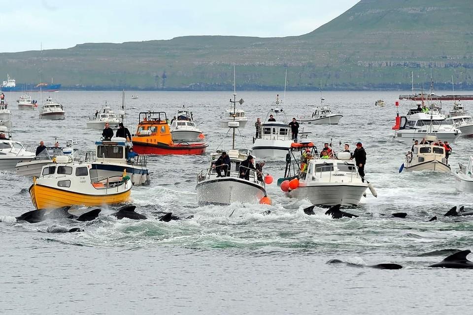 Жители Фарерских островов забили 1,5 тысячи дельфинов в честь праздника