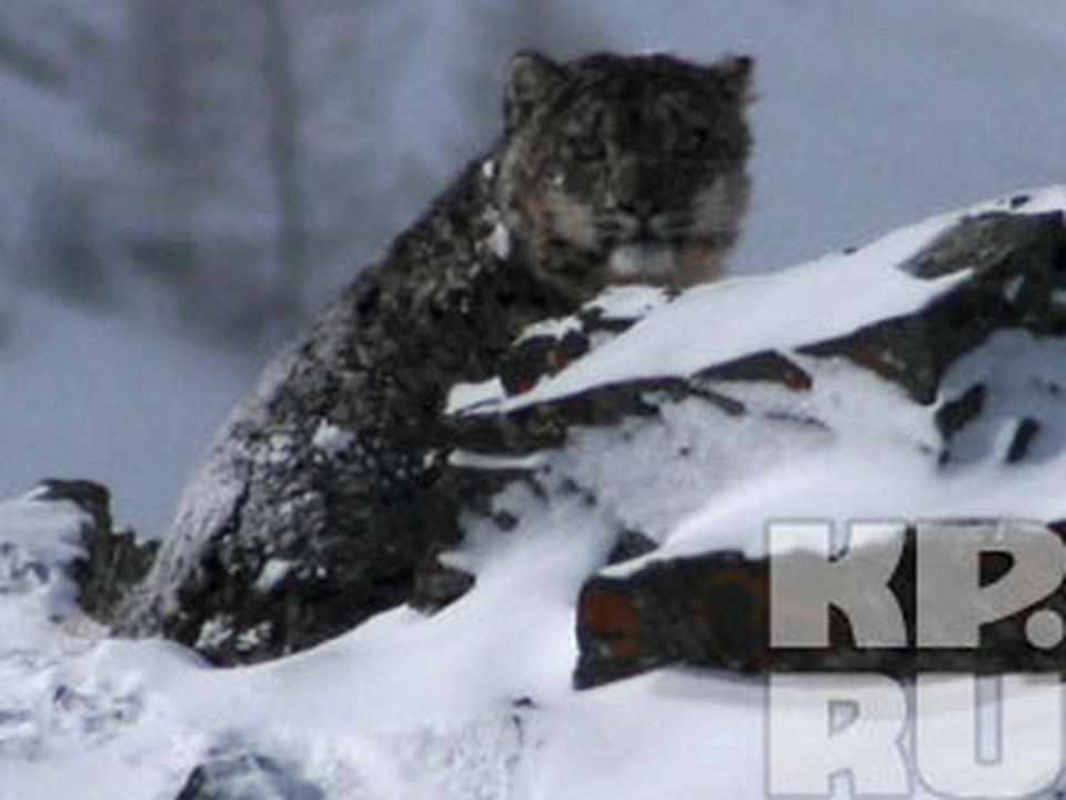 В Тыве впервые удалось сфотографировать снежного барса