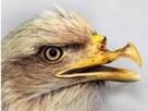 Стоматолог сделал орлану пластику клюва