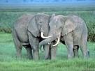 Бунт бешеных слонов