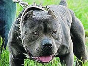 Почему в России не могут запретить бойцовых собак