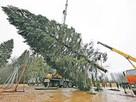 В Москву привезли главную кремлевскую елку