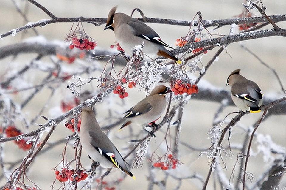 Птицы челябинской области фото и название зимой