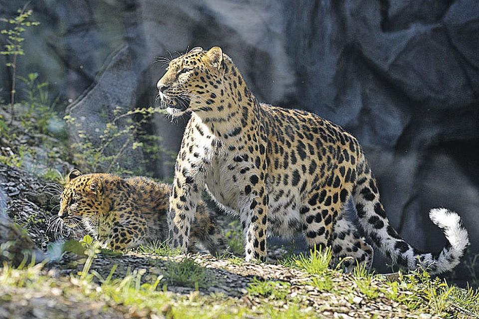 смотреть фильм леопард на снегу онлайн бесплатно в хорошем качестве