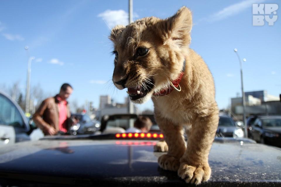 Белоруска продавала фальшивый ветпаспорт для льва за 100 тысяч долларов