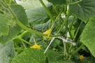 Как вырастить огуречную рассаду, чтобы она не вытягивалась?