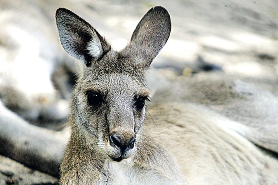 Пара кенгуру стоит 250 тысяч рублей