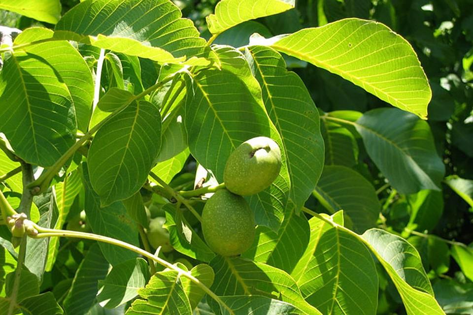 необычные орех листья картинки надеяться, что