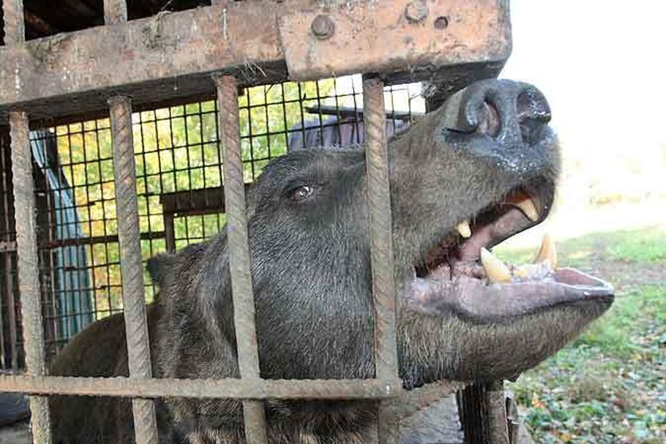Брошенный медведь ревет и грызет клетку, в которой его бросили.