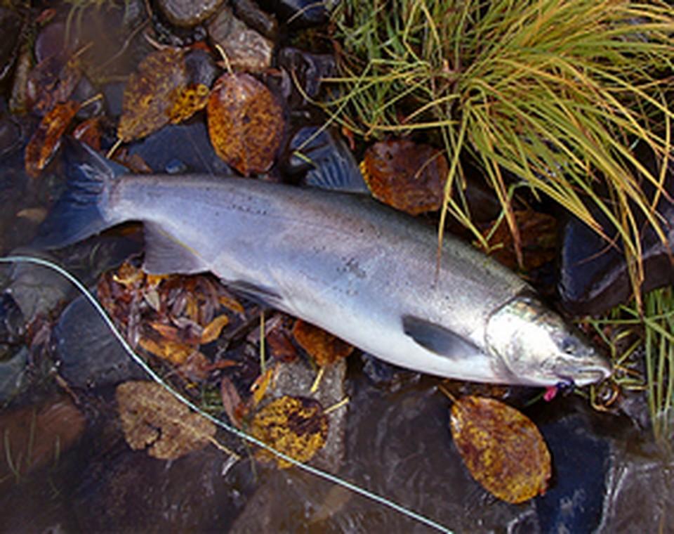 Кижуч - ценная рыба семейства лососевых