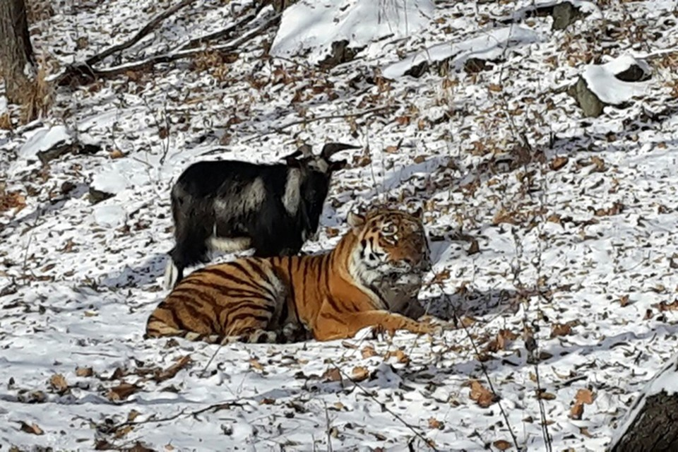 Друзья неразлучны. Фото: safaripark25.ru