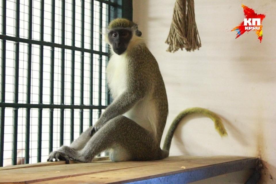 Для обезьян в ижевском зоопарке приготовили угощения на Новый год Фото: зоопарк Удмуртии