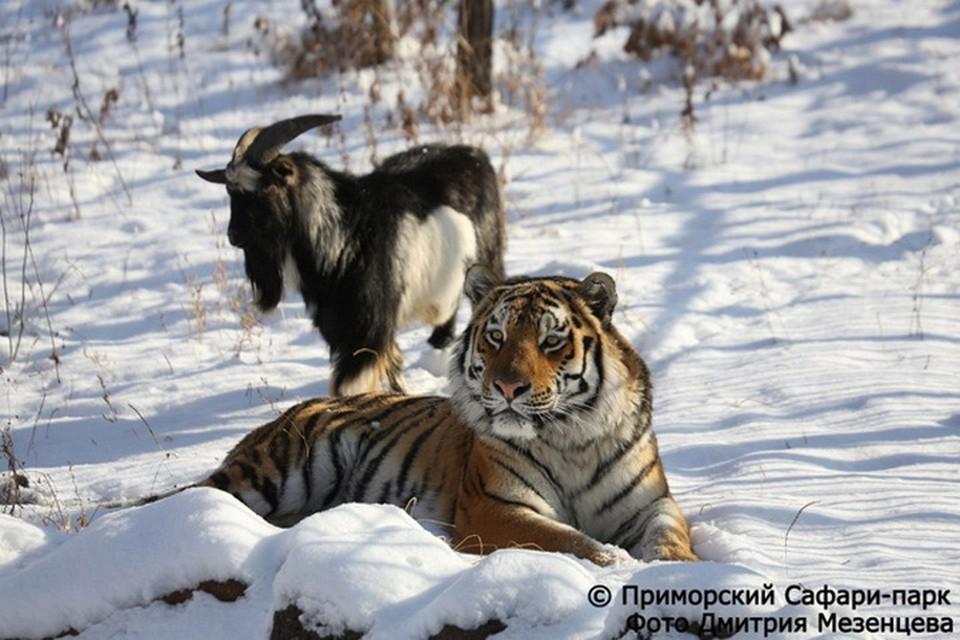 В дружбе Амура и Тимура узрели пропаганду нетрадиционных отношений. Фото: Дмитрий Мезенцев/www.safaripark25.ru