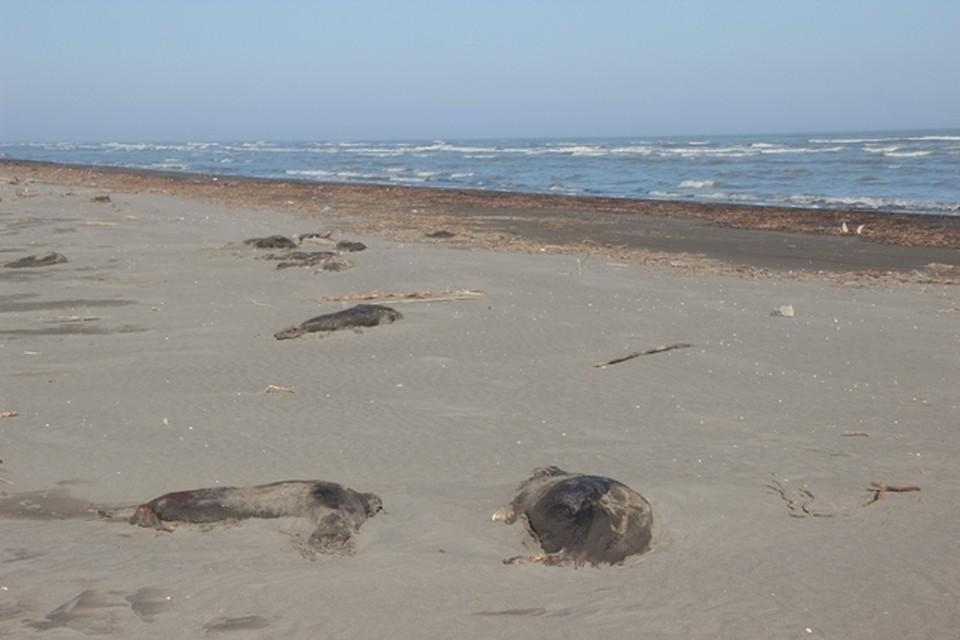 Фото с места гибели тюленей. Фото: http://www.mprdag.ru/