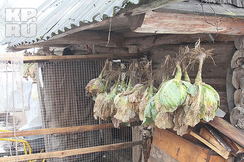 Семья сушит капусту на семена