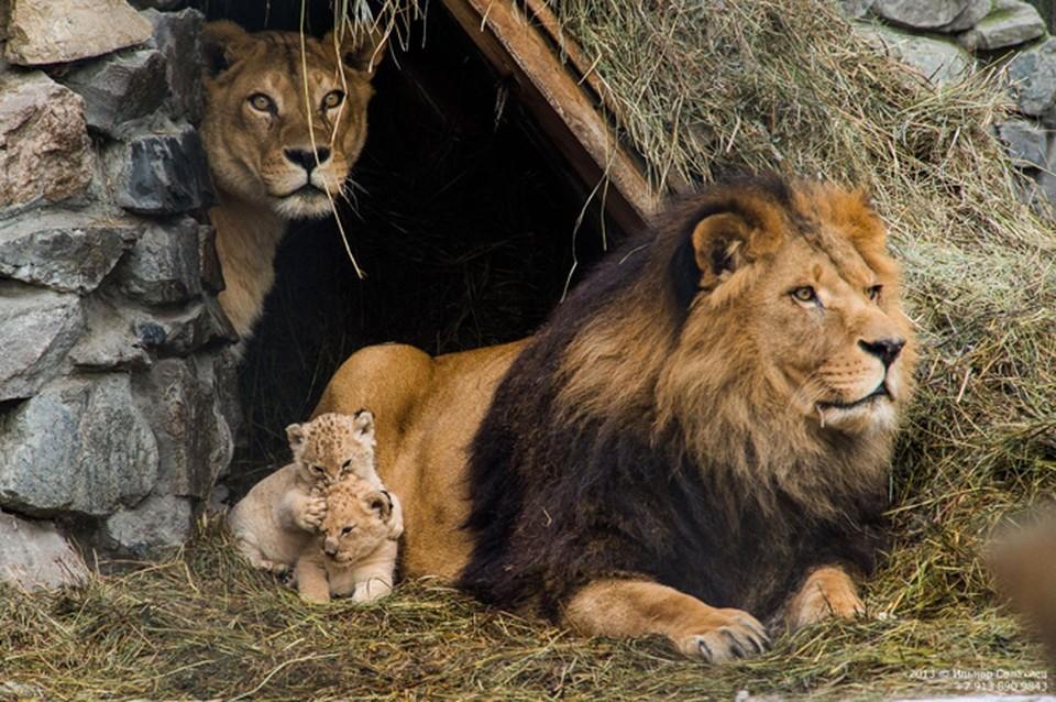 Дикие кошки новосибирского зоопарка