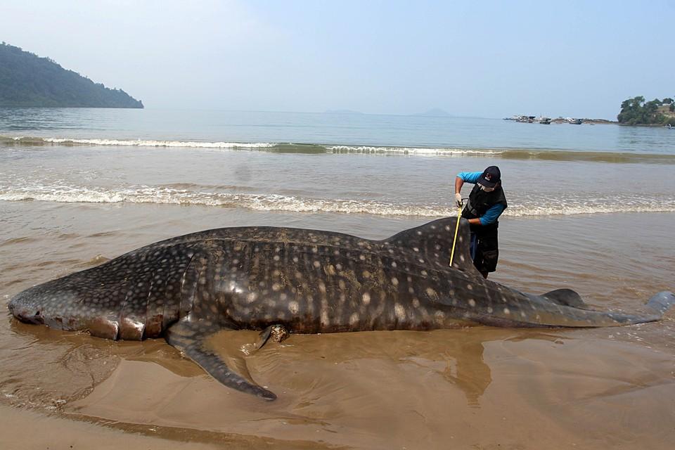 Тушу китовой акулы выбросило на берег в Западной Суматре в Индонезии