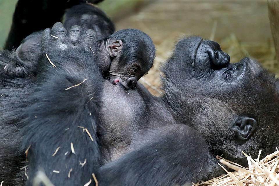В зоопарке Антверпена родилась редкая горилла. Этому малышу гориллы всего день от роду, а на него уже могут посмотреть посетители зоопарка