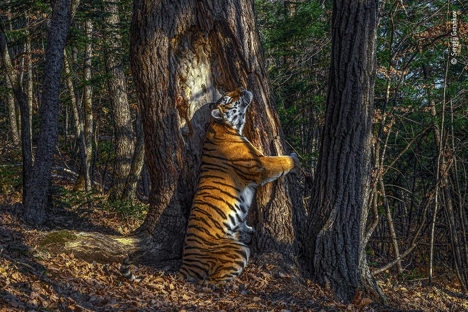 """Объятия"" / Сергей Горшков (Россия) / Wildlife Photographer of the year"