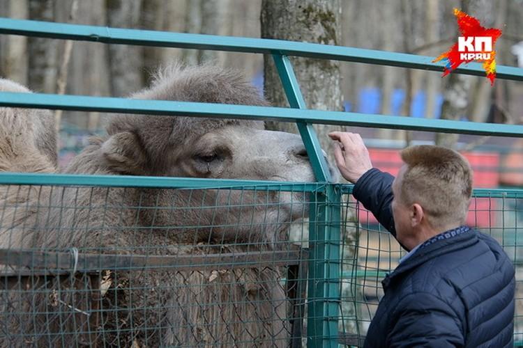 Верблюд нарастил теплый мех. Да и к ставропольской зиме уже привык. Больше фото.