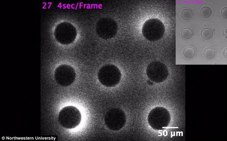 Ученые увидели свечение яйцеклетки в микроскоп.