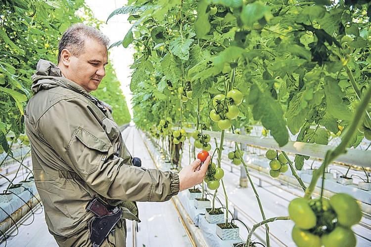 В теплицах под Донецком вновь спеют помидоры - назло всем блокадам и обстрелам.