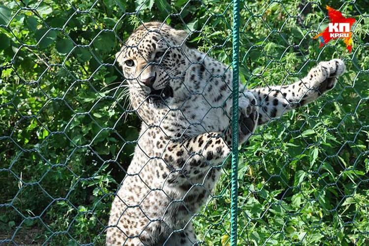 Леопардов готовили к выпуску в дикую природу