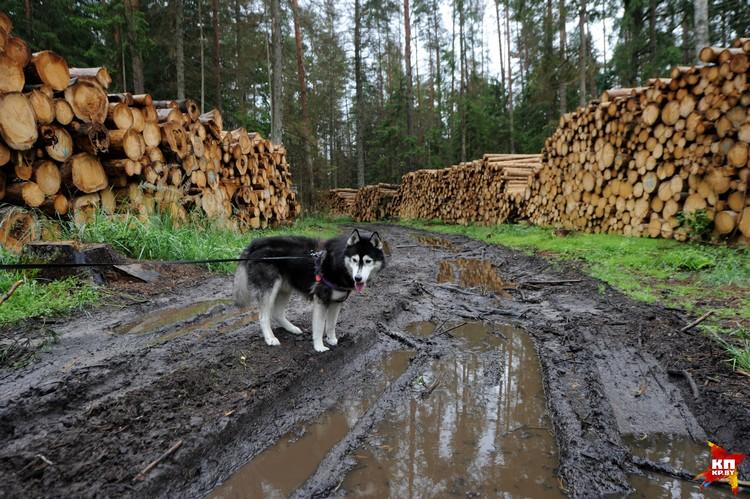 Лесоповал организовали в разных частях Беловежской пущи.