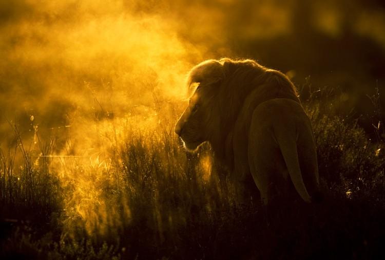 Лев в тумане. Фотограф Викторас Дубинскас, Литва