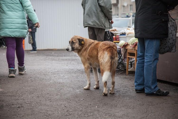 Собаки с желтыми бирочками-чипами на ухе уже не редкость на улицах Перми.