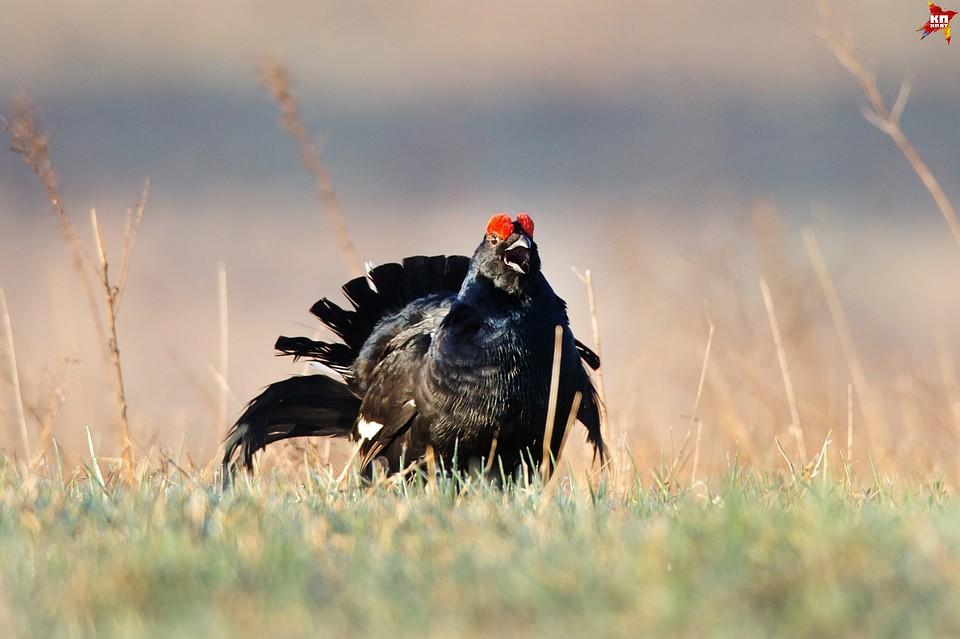 тетерев фото птицы самка и самец зрителю старшего